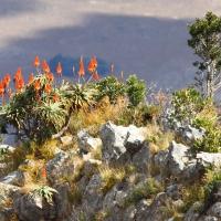 Aloe Malolotja Swaziland AR-6
