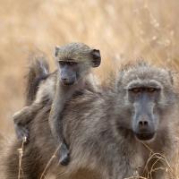 Baboon, Chacma Kruger SA AR-011 Edited
