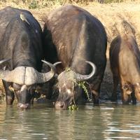 Buffalo, African Sabi Sands SA AR-85
