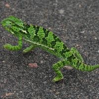 Chameleon Flap-necked-1 - KV