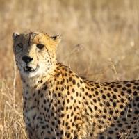 Cheetah Phinda SA AR-27
