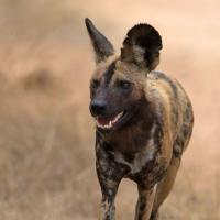 Dog, African Wild Kruger SA AR-077 Edited