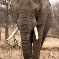 Elephant Kruger - ML