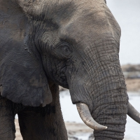 Elephant, African Kruger SA AR-087 Edited