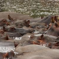 Hippo herd Kruger3 - ML