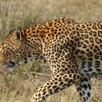 Leopard 8, Sabi Sands - AR