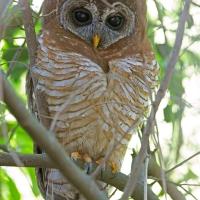 Owl, African Wood Constantia SA AR-001 Edited