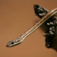 Snake, Sand, Stripe-bellied suspend3 - ML