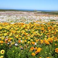 flowers Postberg West Coast NP SA AR-059