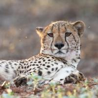 Cheetah ZRR SA AR-01
