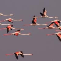 Flamingo, Greater Strandfontein SA AR-25