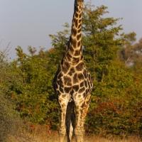 Giraffe Adam Riley