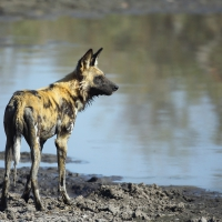 African Wild Dog Adam Riley
