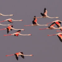 Flamingo, Greater Strandfontein SA AR-25